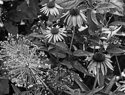 Photograph - Cone Flowers In Dow Gardens 2 Bw by Mary Bedy