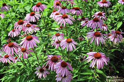Photograph - Cone Flowers  by Janet Immordino
