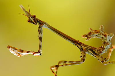 Art Print featuring the photograph Cone Head Mantis by Richard Patmore
