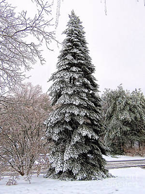 Photograph - Cone Shaped Evergreen by Janice Drew