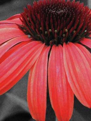Photograph - Coneflower 01 - Red by Pamela Critchlow