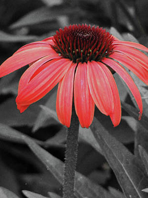 Photograph - Coneflower 02 - Red by Pamela Critchlow