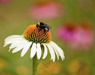 Photograph - Coneflower And Bee by Phyllis Peterson