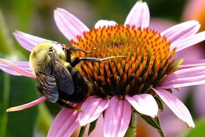 Frank Sinatra - Bee Enjoying Coneflower  by Cindy Treger
