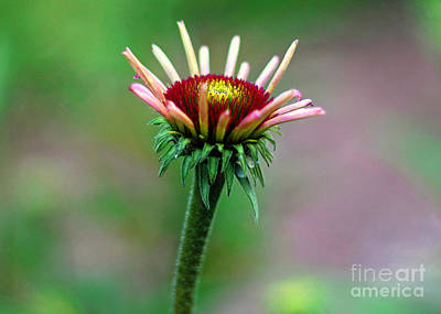 Coneflower Bloom Art Print