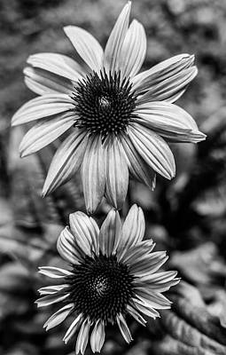 Photograph - Coneflower Bw by Keith Smith