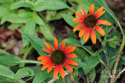 Photograph - Coneflower by Donna Brown