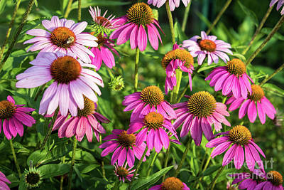 Photograph - Coneflower Garden by Eleanor Abramson