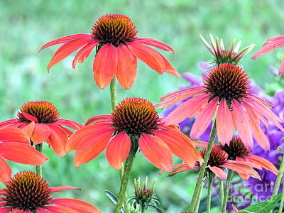 Photograph - Coneflower Garden by Janice Drew