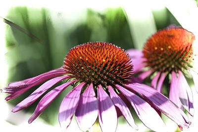 Photograph - Coneflower by Gej Jones