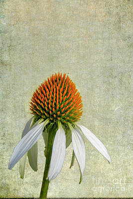 Photograph - Coneflower  by Heiko Koehrer-Wagner