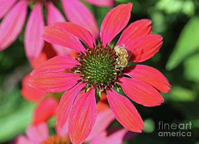 Photograph - Coneflower Honeybee I by Mary Haber