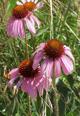 Photograph - Coneflower by JK Dooley