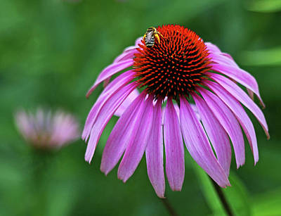 Art Print featuring the photograph Coneflower by Judy Vincent