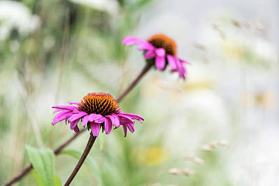 Photograph - Coneflower by Linda Shannon Morgan