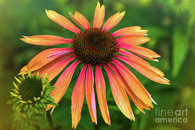 Photograph - Coneflower by Mariola Bitner