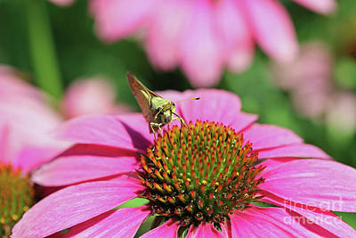 Photograph - Coneflower Moth I by Mary Haber