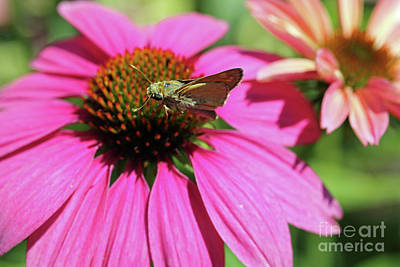 Photograph - Coneflower Moth II by Mary Haber