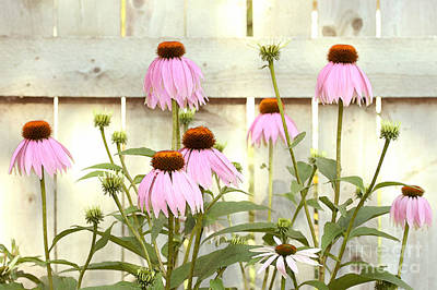 Augustin Photograph - Coneflower Patch by Steve Augustin