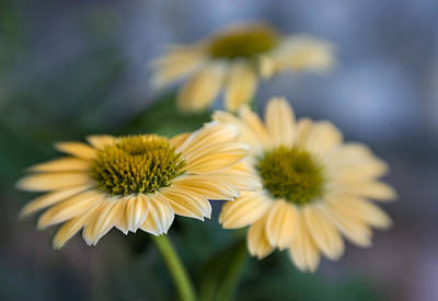 Photograph - Coneflower Trio by David and Carol Kelly