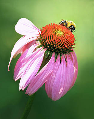 Photograph - Coneflower With Bee by Carolyn Derstine