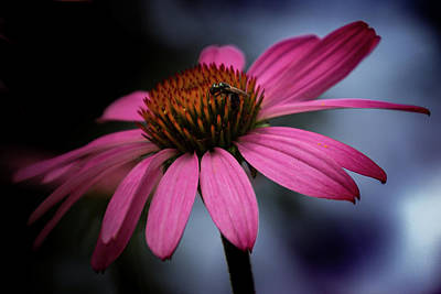 Photograph - Coneflower With Bug by Judy Garrard