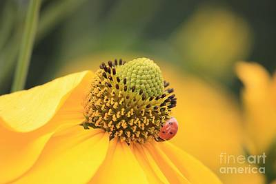 Photograph - Coneflower With Ladybug by Carol Groenen