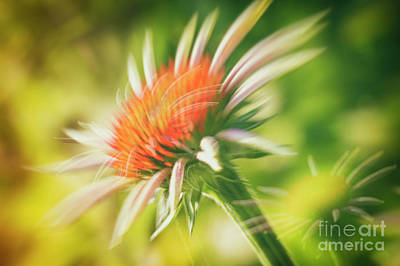 Abstract Flowers Royalty-Free and Rights-Managed Images - Coneflowers 3 by Veikko Suikkanen