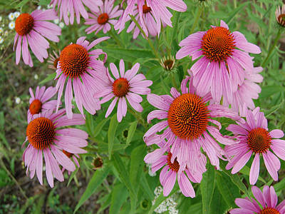 Coneflowers Art Print by Audrey Venute