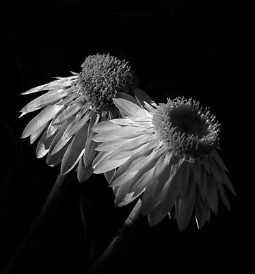 Photograph - Coneflowers Bw by HH Photography of Florida
