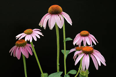 Michael Barry Photograph - Coneflowers by Michael Barry