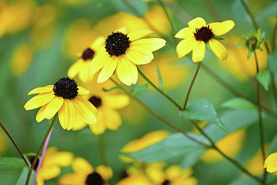 Flowers Photograph - Coneflowers No. 8-1 by Sandy Taylor