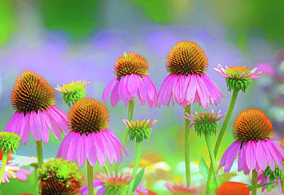 Photograph - Coneflowers by Rodney Campbell