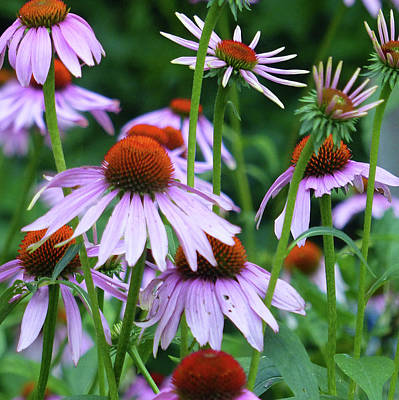 Photograph - Coneflowers by Rosanne Licciardi