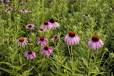 Photograph - Coneflowers by Scott Bean