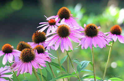 Photograph - Coneflowers by Trina Ansel
