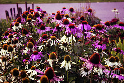 Photograph - Coneflowers With Purple by Donna L Munro