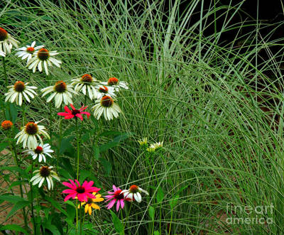 Photograph - Coneflowers Among The Glass by Marcia Lee Jones