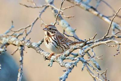 Photograph - Confident Sparrow by Karen Silvestri