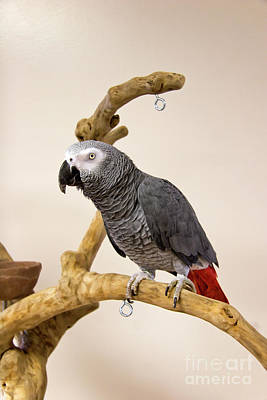 Photograph - Congo African Grey Parrot by Jill Lang