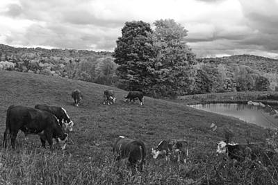 Photograph - Congregating Cows. Jenne Farm Cow Reading Vermont Black And White by Toby McGuire
