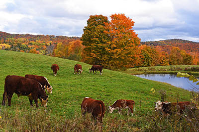Photograph - Congregating Cows. Jenne Farm Cow Reading Vermont by Toby McGuire