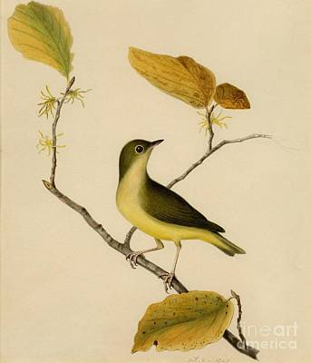 Painting - Connecticut Warbler by Celestial Images