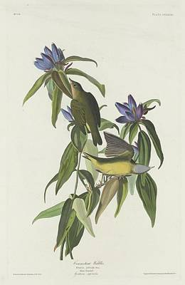 Audubon Drawing - Connecticut Warbler by Dreyer Wildlife Print Collections