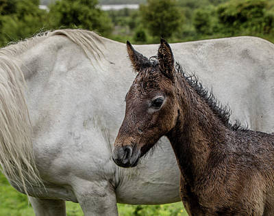 Photograph - Connemara Foal by Teresa Wilson
