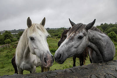 Photograph - Connemara Ponies by Teresa Wilson