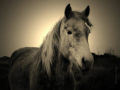 Spiddal Photograph - Connemara Pony by Dave Dwyer