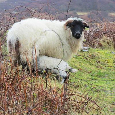 Soap Suds - Connemara Sheep by Dawn Richerson
