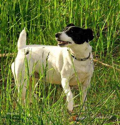 Black And White Jack Russell Terrier Puppies Photograph - Constant Hunter by Antonia Citrino
