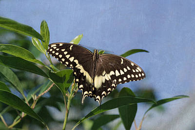 Photograph - Constantines Swallowtail by Kim Hojnacki